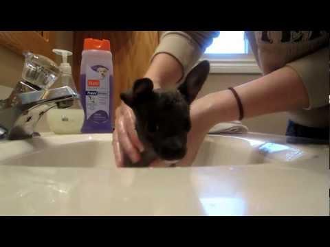 Blue chihuahua puppy's first bath!