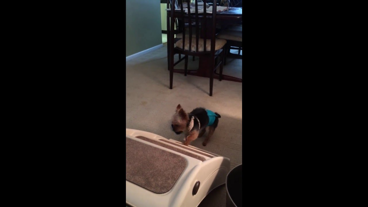 Cute Yorkie Puppy Wearing Diaper Cant Climb The Stairs Youtube