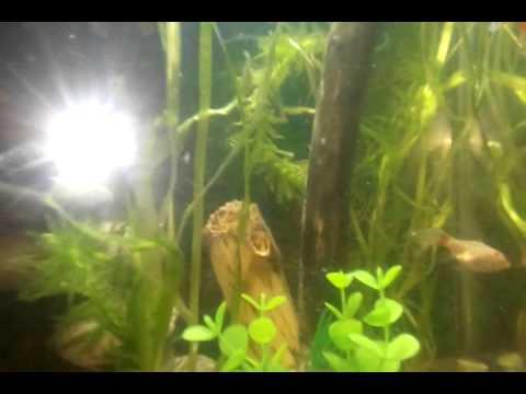 Como criar a los peces cometa youtube for Peces para criar