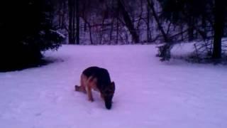 Izzy, My German Shepherd, Running Around The Back Yard.