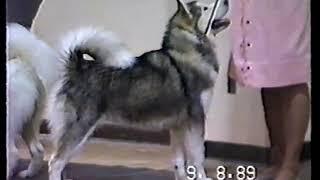 1989 Alaskan Malamute Dog Show Northern California