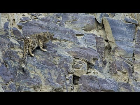 Scaling Up Snow Leopard Conservation In Pakistan - Full Length