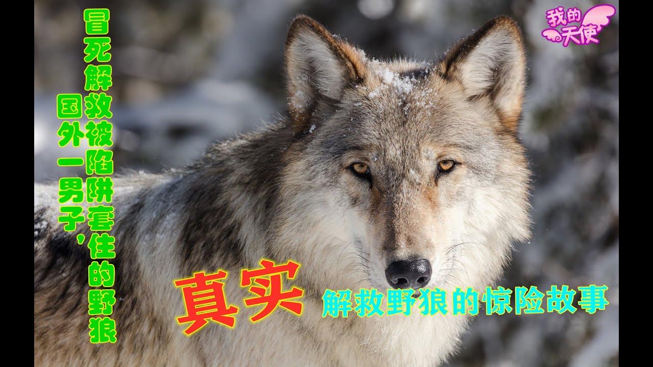 L'uomo salva il lupo selvaggio dalla trappola umana | Man rescues a wild wolf from human trap ...