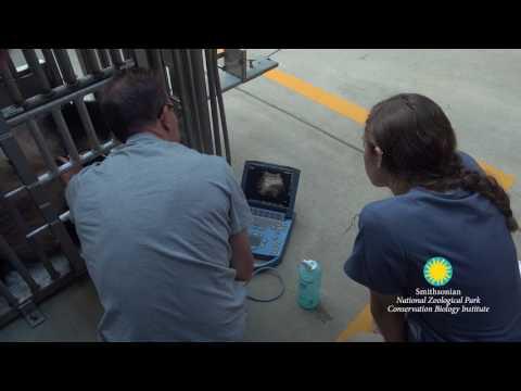 Giant Panda Mei Xiang Receives an Ultrasound