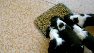 English Springer Spaniel Feeding