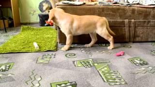 щенок лабрадора 2 месяца