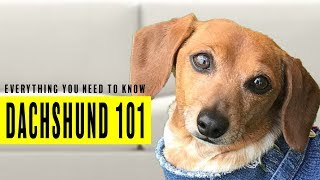 Everything you need to know about Dachshunds or Wiener Dogs from expert owners.