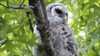 Baby Barred Owl with Barred Owl Adults Hooting thumbnail
