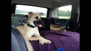 Black Mouth Cur Rescue - The breed is amazing - smart, sweet & CUTE!