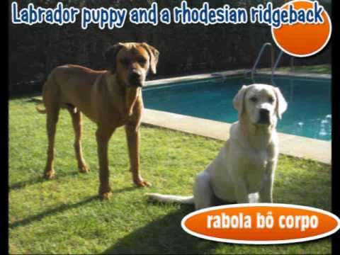 Labrador puppy and rhodesian ridgeback - Rabola bô corpo