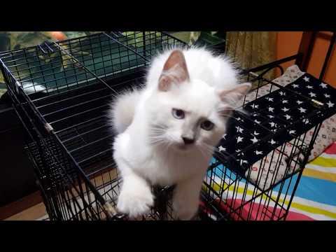 Ragdoll Cats Vlog #02  (03 November 2017)