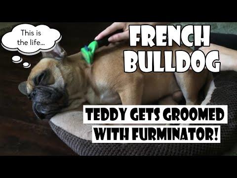French Bulldog Teddy Gets FURminated