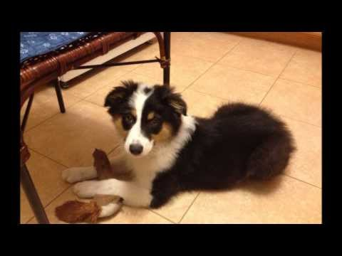 Australian Shepherd Puppy Growing