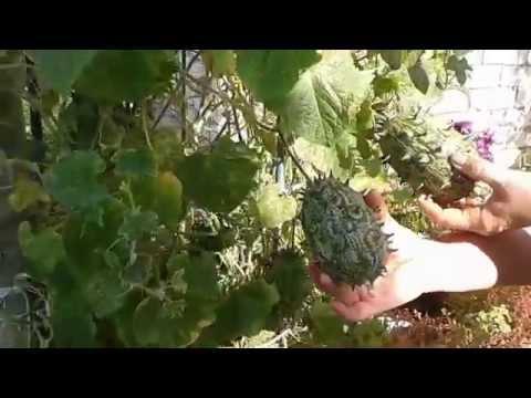 Экзотический фрукт Кивано в хозяйстве Биосад
