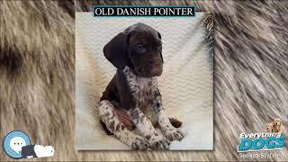 Old Danish Pointer  Everything Dog Breeds