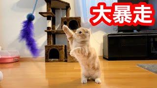 寝起きの短足猫が100均のオモチャに異常反応して大暴走…!