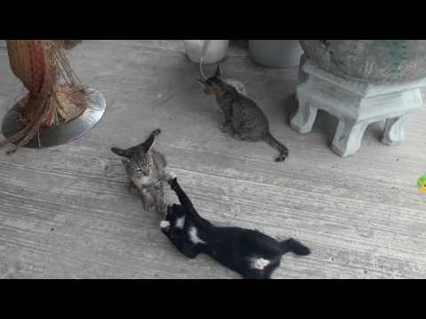 Egyptian Mau kittens brother and sisters having a ball