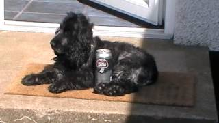 Adorable Blue Roan Cocker Spaniel wakes up beside beer can!