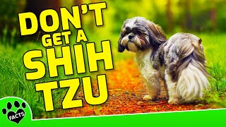 5 Reasons NOT To Get A Shih Tzu   Small Dog Breeds