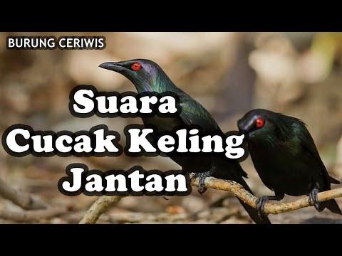 Suara Kicauan Burung Cucak Keling Jantan Cocok Buat Masteran