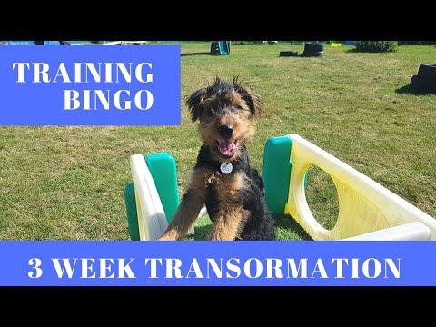 Bingo - Welsh Terrier Puppy Training Journey