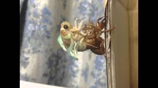 2012年8月2日、拾った幼虫を持って帰って羽化観察しました。 iPhoneアプ...