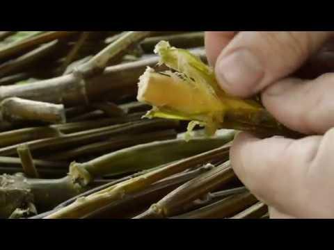 Making Paper From Plants – Hemp Cannabis Sativa