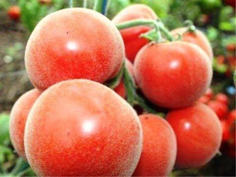 Отзыв на томаты - Бархатные.   стратификация   выращивание   пикировка   пересадка   вырастить   растения   сделать   рассада   помидор   семена