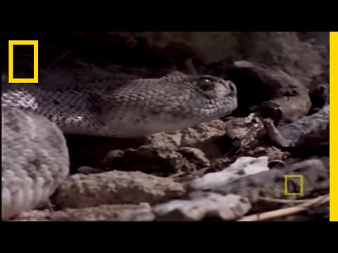 Red Tailed Hawk vs. Rattler | National Geographic