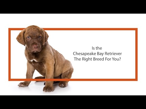 Everything you need to know about Chesapeake Bay Retriever puppies! (2019)