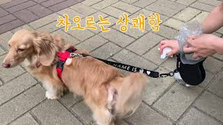 (Eng)똥꼬발랄 세상 신난 닥스훈트 강아지랑 산책 |…