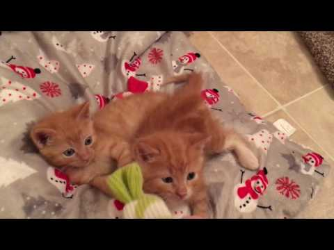 One Week Until Christmas! Baby Kittens Play with Christmas Cat Toys!