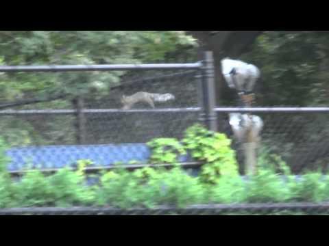 Esquilo na cerca do Billie Jean King National Tennis Center