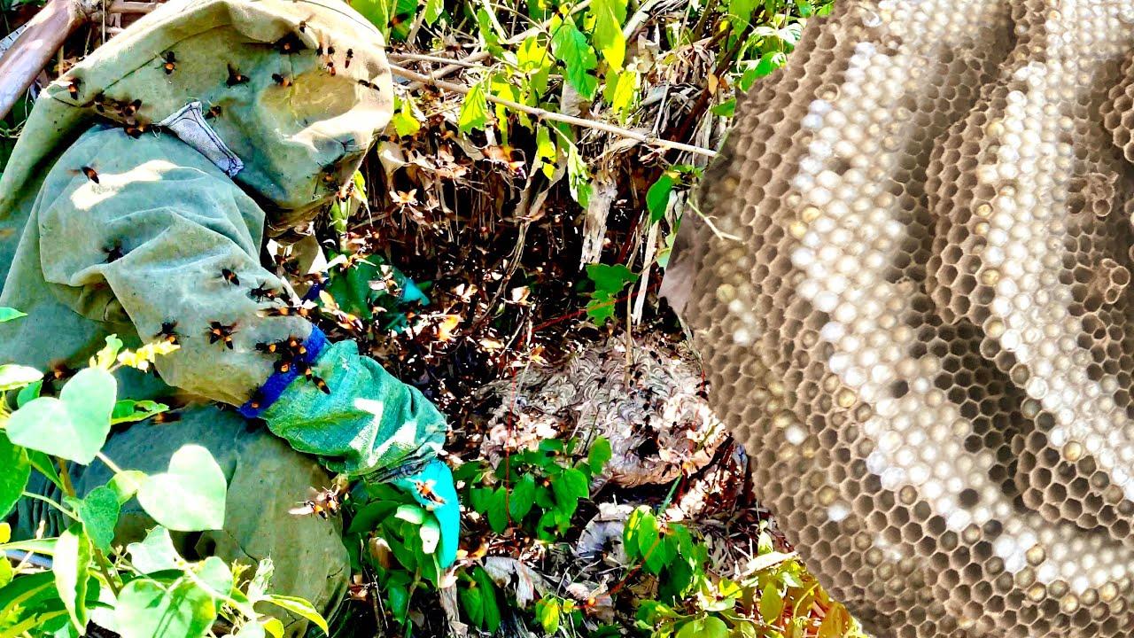 Bắt Tổ Ong Hung Dữ Trong Vườn Nhanh Trong Chớp Mắt | Ong Rừng Đông Bắc