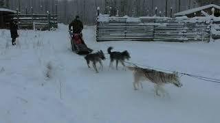 видео Хаски - катание на собачьих упряжках в Карелии