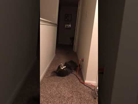 Hilarious cats playing (hissing)