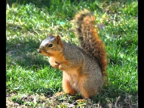 Fox Squirrel Facts - Facts About Fox Squirrels - YouTube