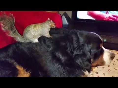 Wally the squirrel : Still hiding nuts in Jax's fur!
