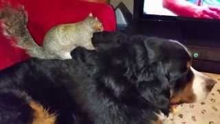 Repeat youtube video Wally the squirrel : Still hiding nuts in Jax's fur!
