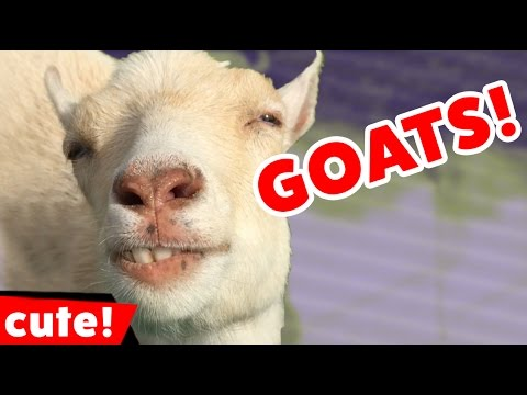 Funny Goat Videos Compilation 2016 | Kyoot Animals