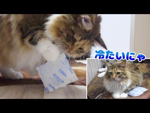 長毛種の猫に保冷剤わたしたら大満足してくれた!【マロンの声あり】