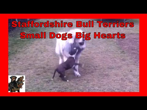 Staffordshire Bull Terriers - Small Dogs Big Hearts