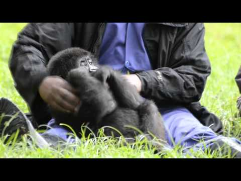 Lucky Ihirwe, the Rescued Baby Mountain Gorilla