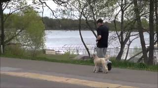 Finley (wheaten Terrier) Trained Dog Video
