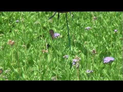 Queen Butterflies (Danaus gilippus) on Purple Mist Flower in Certified Butterfly Sanctuary