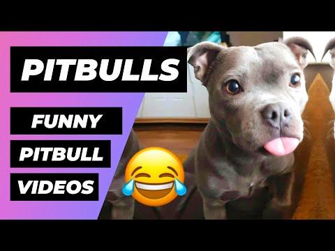 Top Funny Pitbulls 🔴 Pitbull Puppies Videos Compilation - Cachorros Pitbull Vídeo Recopilación