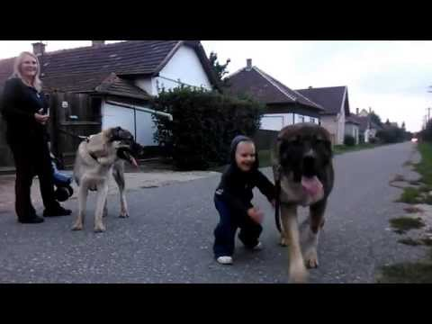 Central Asian Shepherd dog, Közép-ázsiai juhász