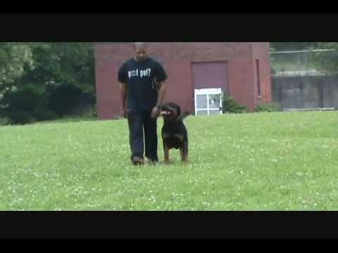 Kingston - 26 months (Schutzhund Obedience & Protection Training)