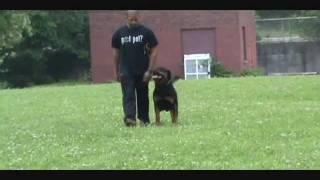 Kingston - 26 Months (schutzhund Obedience & Protection Training)