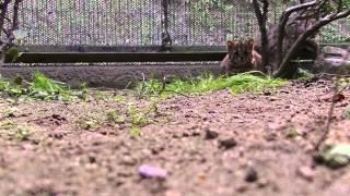 ツシマヤマネコ2頭、元気です(その1:福岡市動物園) ツシマヤマネコ 検索動画 20